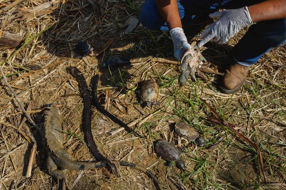 derrame de pemex mata a decenas de especies 1