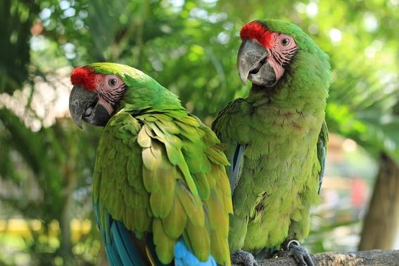 preservan guacamaya verde en zoologico parque morelos de tijuana 1