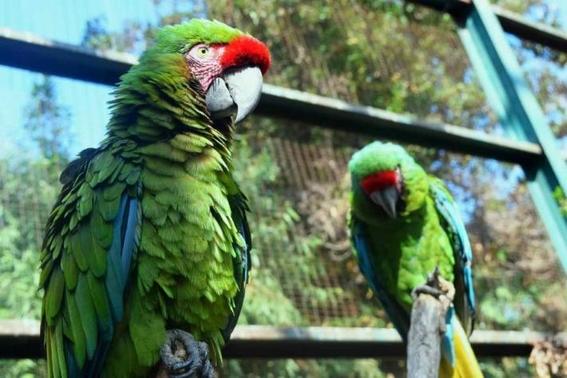 preservan guacamaya verde en zoologico parque morelos de tijuana 2