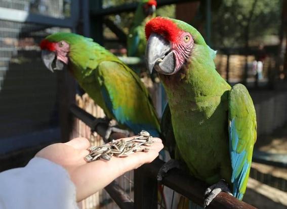 preservan guacamaya verde en zoologico parque morelos de tijuana 3