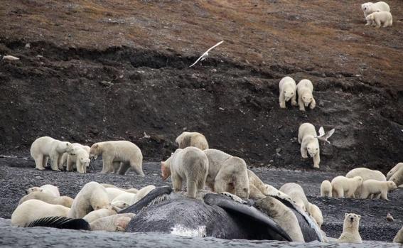osos polares devoran ballenas para sobrevivir estudio cientifico 1