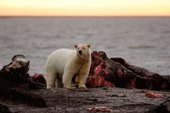 osos polares devoran ballenas para sobrevivir estudio cientifico 2