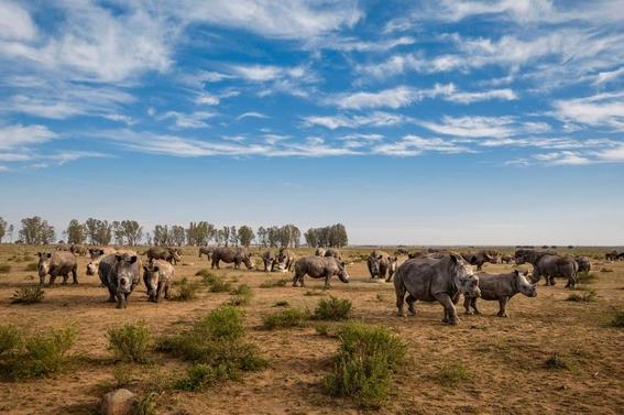 fotos caza furtiva de cuerno de rinoceronte en africa 1