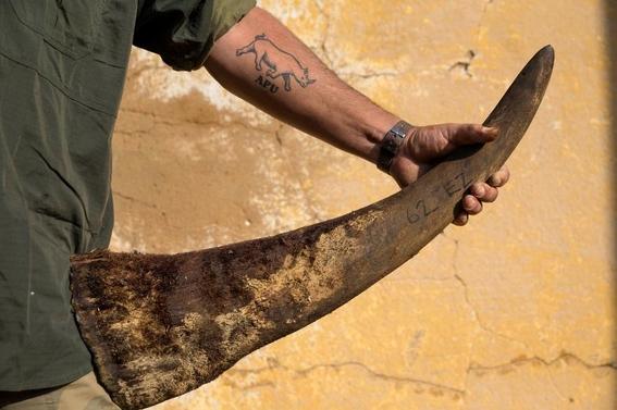 fotos caza furtiva de cuerno de rinoceronte en africa 6
