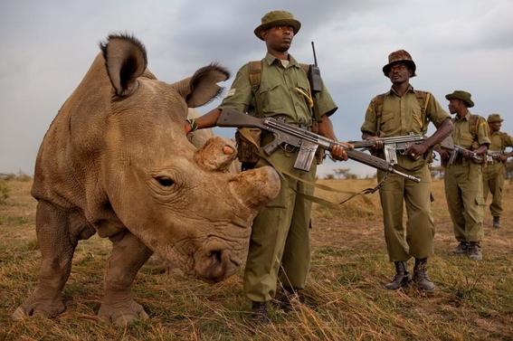 fotos caza furtiva de cuerno de rinoceronte en africa 3
