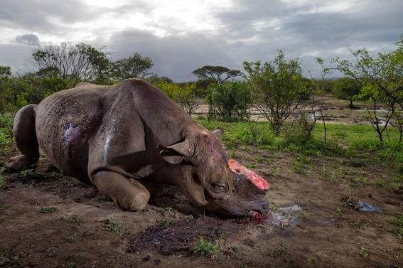 fotos caza furtiva de cuerno de rinoceronte en africa 5