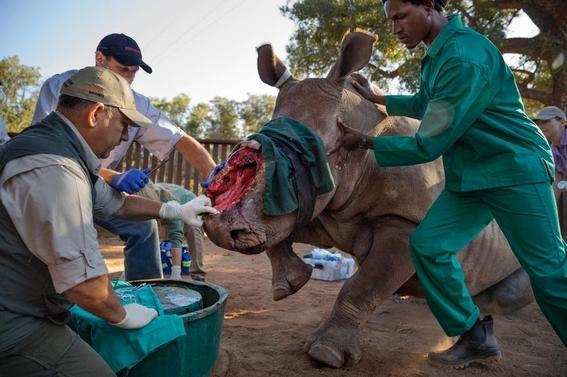fotos caza furtiva de cuerno de rinoceronte en africa 9