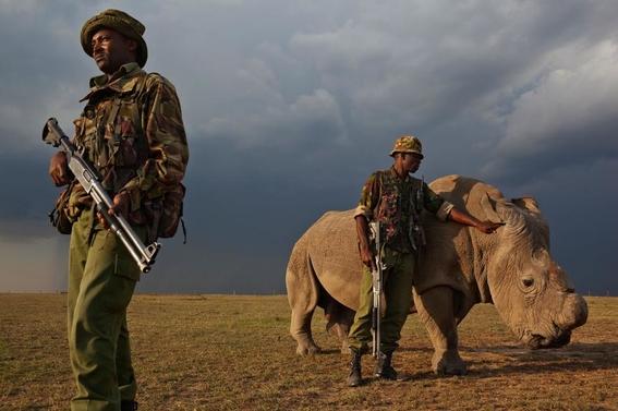 fotos caza furtiva de cuerno de rinoceronte en africa 13