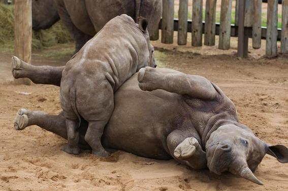 fotos caza furtiva de cuerno de rinoceronte en africa 17
