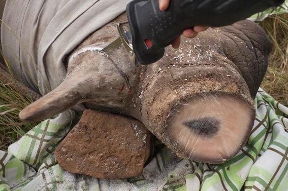 fotos caza furtiva de cuerno de rinoceronte en africa 20