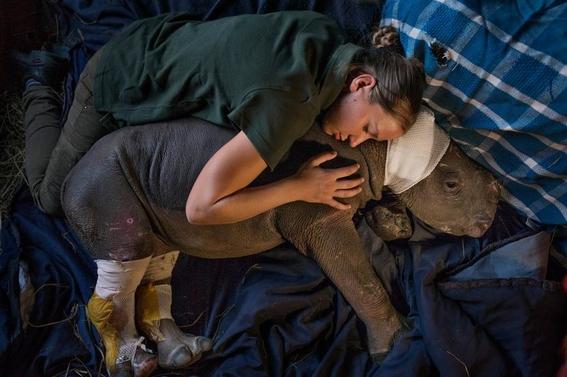 fotos caza furtiva de cuerno de rinoceronte en africa 21