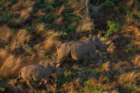 fotos caza furtiva de cuerno de rinoceronte en africa 22