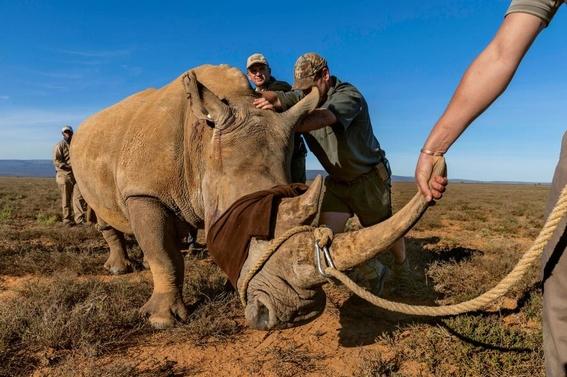 fotos caza furtiva de cuerno de rinoceronte en africa 2