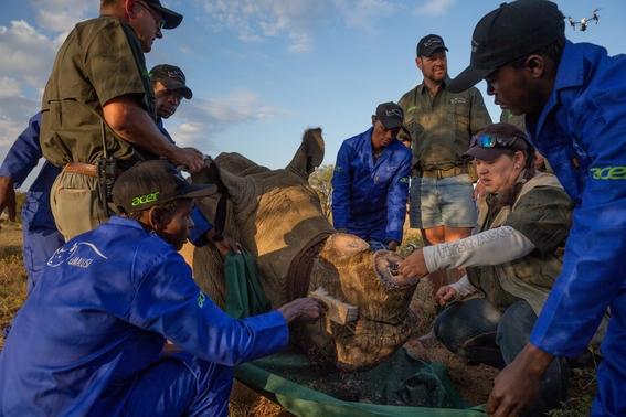 fotos caza furtiva de cuerno de rinoceronte en africa 10