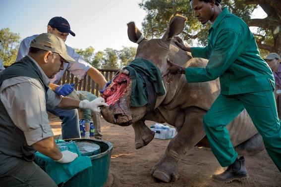 fotos caza furtiva de cuerno de rinoceronte en africa 19