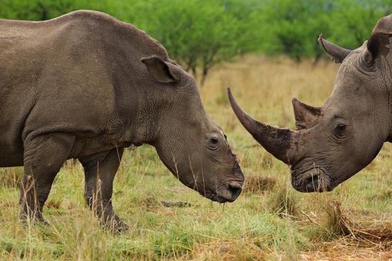 fotos caza furtiva de cuerno de rinoceronte en africa 4