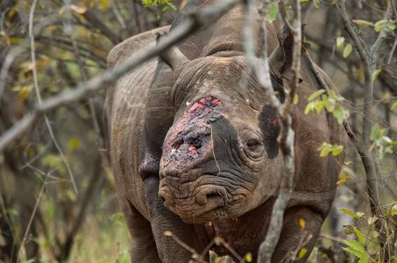 fotos caza furtiva de cuerno de rinoceronte en africa 16