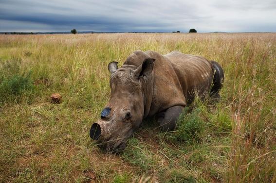 fotos caza furtiva de cuerno de rinoceronte en africa 14