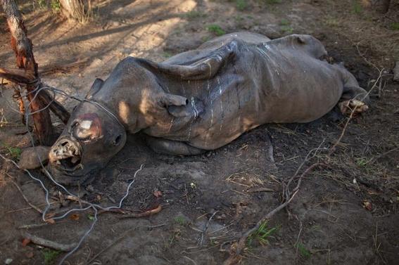 fotos caza furtiva de cuerno de rinoceronte en africa 18
