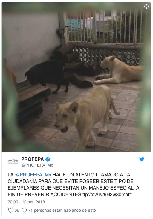aseguran tres leones albinos y guacamayas en iztacalco 1