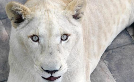 aseguran tres leones albinos y guacamayas en iztacalco 3