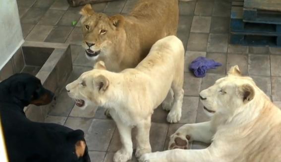 aseguran tres leones albinos y guacamayas en iztacalco 5