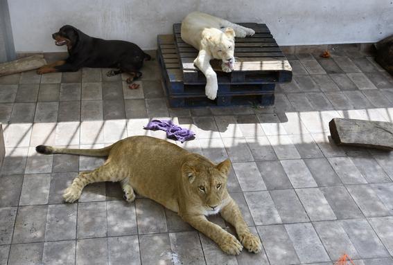 aseguran tres leones albinos y guacamayas en iztacalco 2