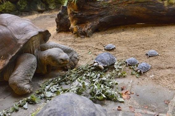 roban tortugas bebes en peligro de extincion de centro de crianza galapagos 1