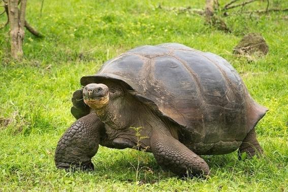 roban tortugas bebes en peligro de extincion de centro de crianza galapagos 3