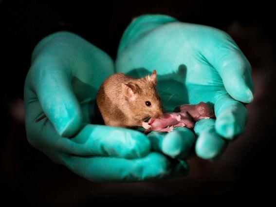 cientificos producen crias de raton de parejas del mismo sexo 1