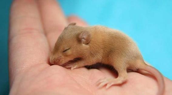 cientificos producen crias de raton de parejas del mismo sexo 2