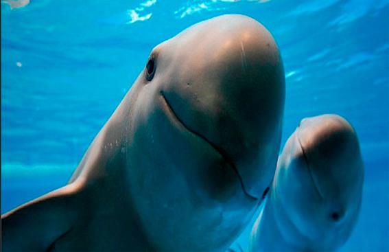 semarnat niega extincion de vaquita marina en el golfo 1
