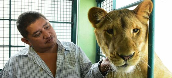 dueno de leones en azotea se niega a entregarlos a profepa 1