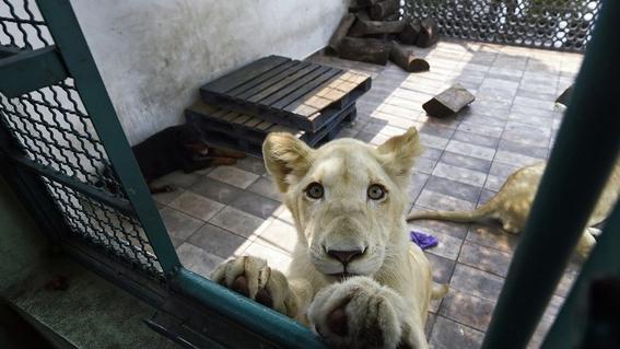 dueno de leones en azotea se niega a entregarlos a profepa 2