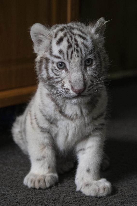 nacen tigres de bengala blancos en zoologico de china 3