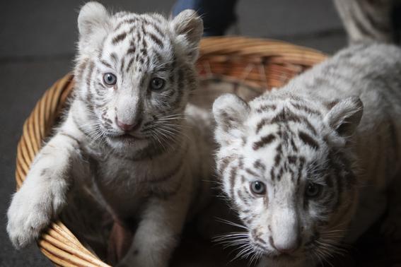 nacen tigres de bengala blancos en zoologico de china 6