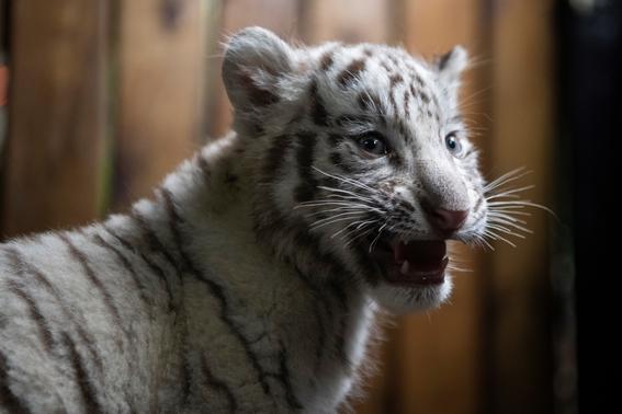 nacen tigres de bengala blancos en zoologico de china 7