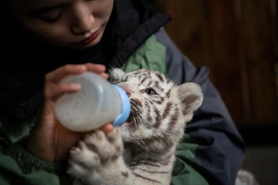nacen tigres de bengala blancos en zoologico de china 1