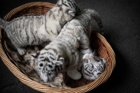 nacen tigres de bengala blancos en zoologico de china 5