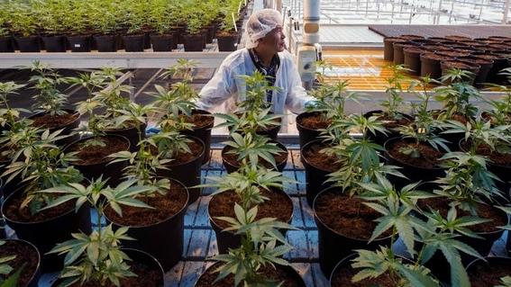 canada legaliza la marihuana tras un siglo de prohibicion 3