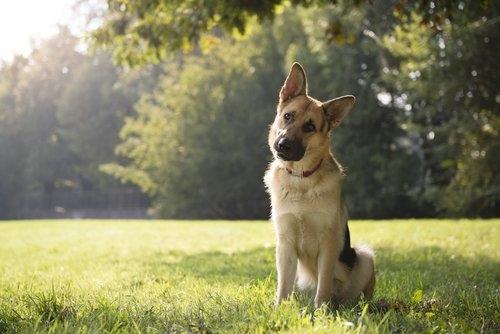 estudio determina que perros entienden las palabras 1