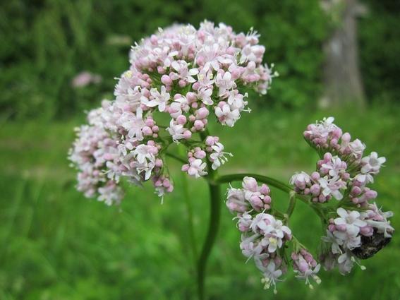 libera cofepris 18 plantas medicinales para uso legal mexico 2
