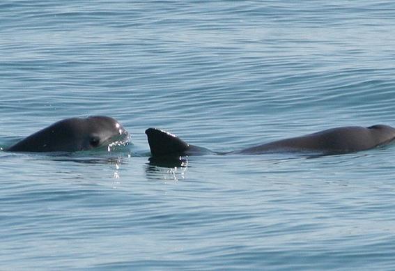 avistan vaquitas marinas en el golfo de california 1