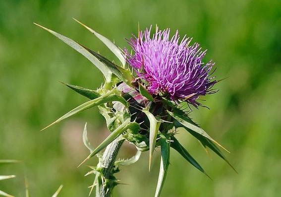 plantas medicinales 11