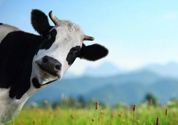 detectan un caso de vaca loca en una granja escocesa 2