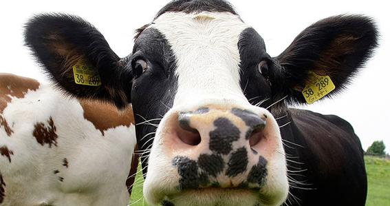 detectan un caso de vaca loca en una granja escocesa 3