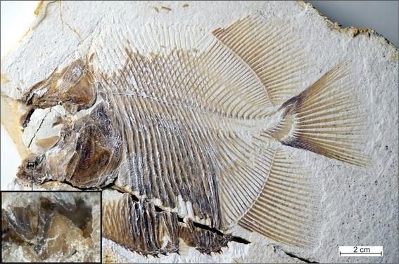 descubren fosil con dientes de pirana que vivia en el jurasico 1