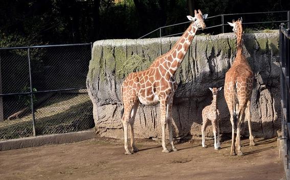 nace cria jirafa en zoologico de chapultepec 1