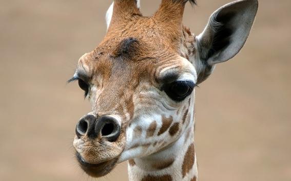 nace cria jirafa en zoologico de chapultepec 2