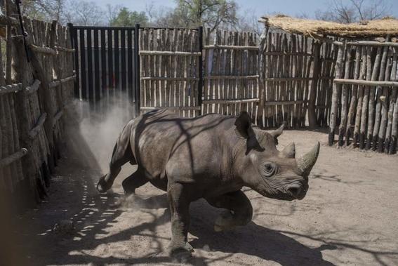 mueren dos rinocerontes negros trasladados a parque en chad 1